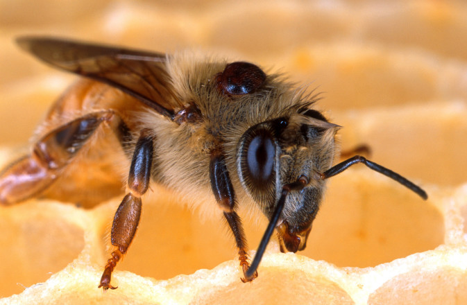 EPA Targets Already Depleted Bee Population
