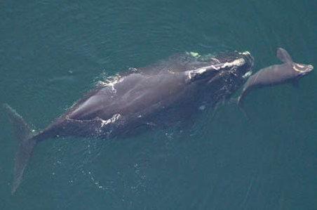 Undoing the Threat to Endangered Right Whales